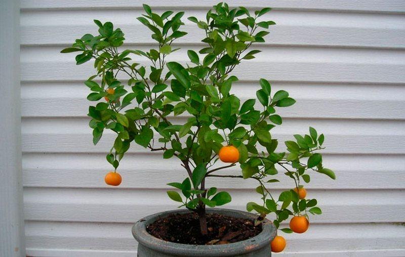 Как выращивать лимон из семечка в домашних условиях